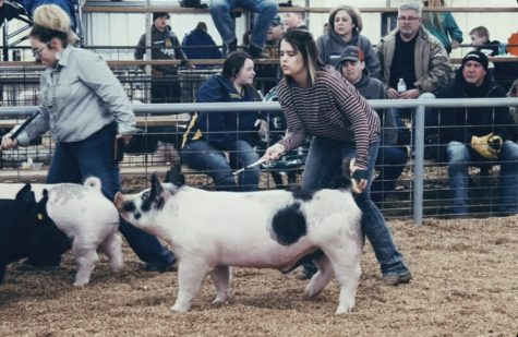 Piper Turner showing pigs in a past FFA competition.
